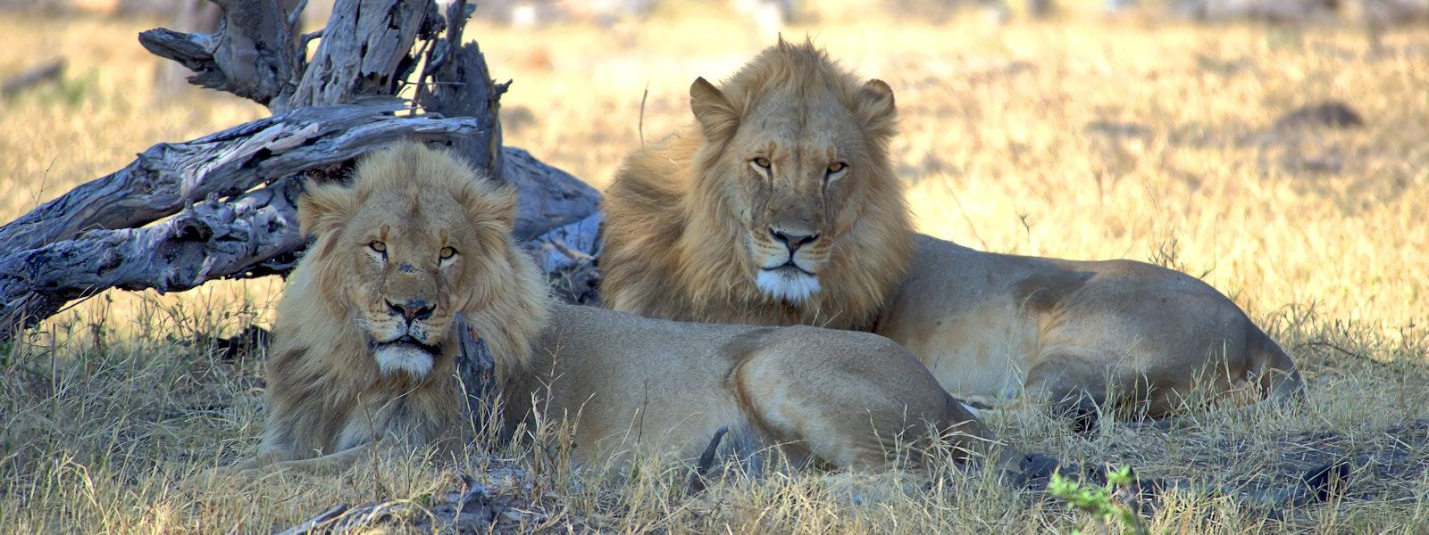 """""""Double Trouble"""", Hwange National Park, Zimbabwe"""