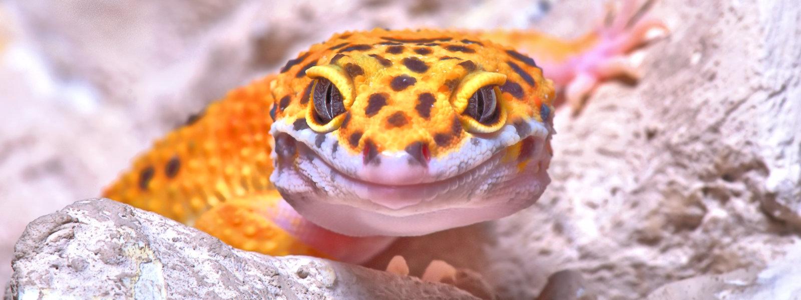 """Happy Smilie"", Leopard Gecko, Frimley, Surrey, UK"