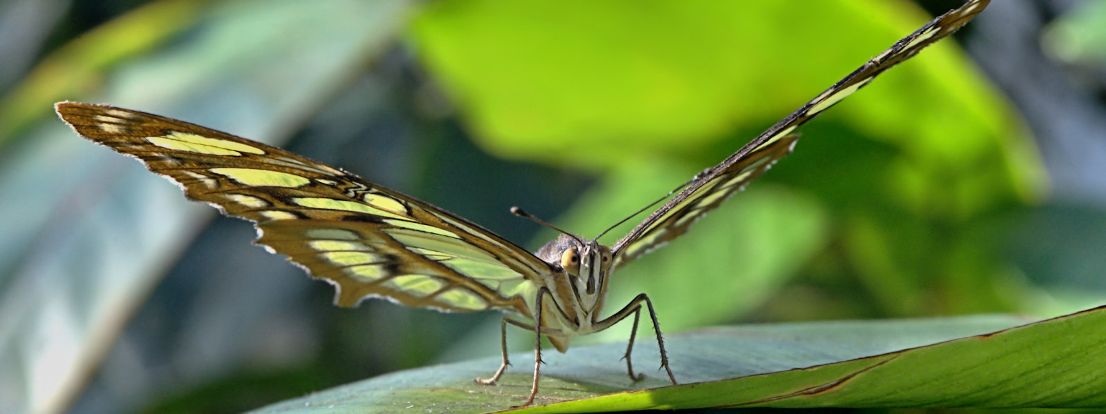Malachite Butterfly, Hall Place & Gardens, London, UK