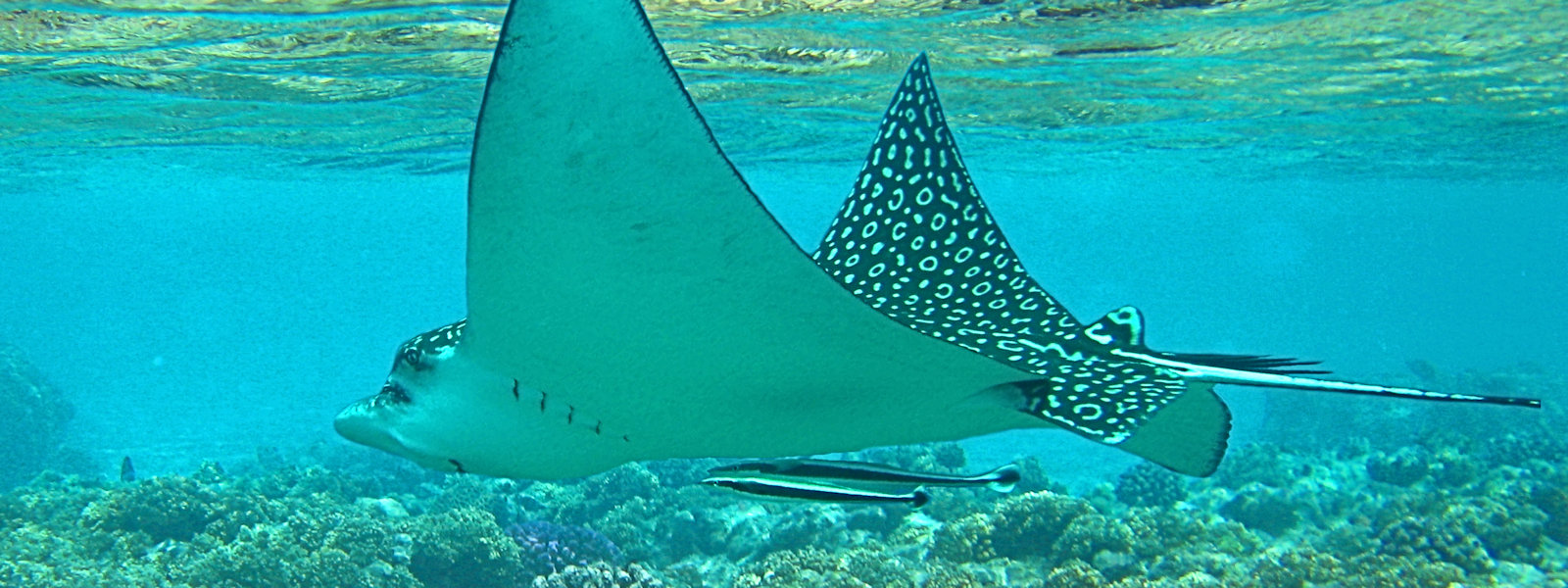 Spotted Eagle Ray, Off The Coast Negril, Jamaica