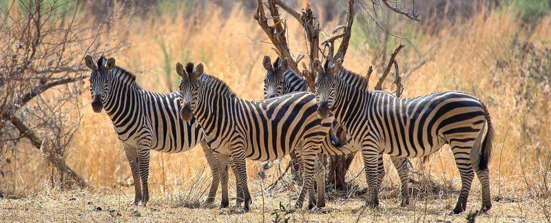 """""""Zebra Crossing"""", Lower Zambezi National Park""""Majestic"""", Zimbabwe"""